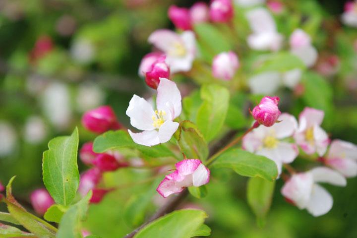 小梨の花のつぼみ