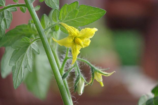 130620_トマトの花