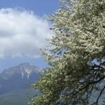 小梨と八ヶ岳